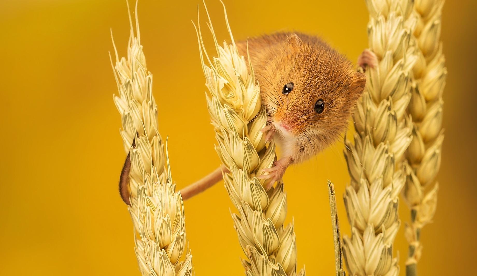 myszy_klosy.jpg