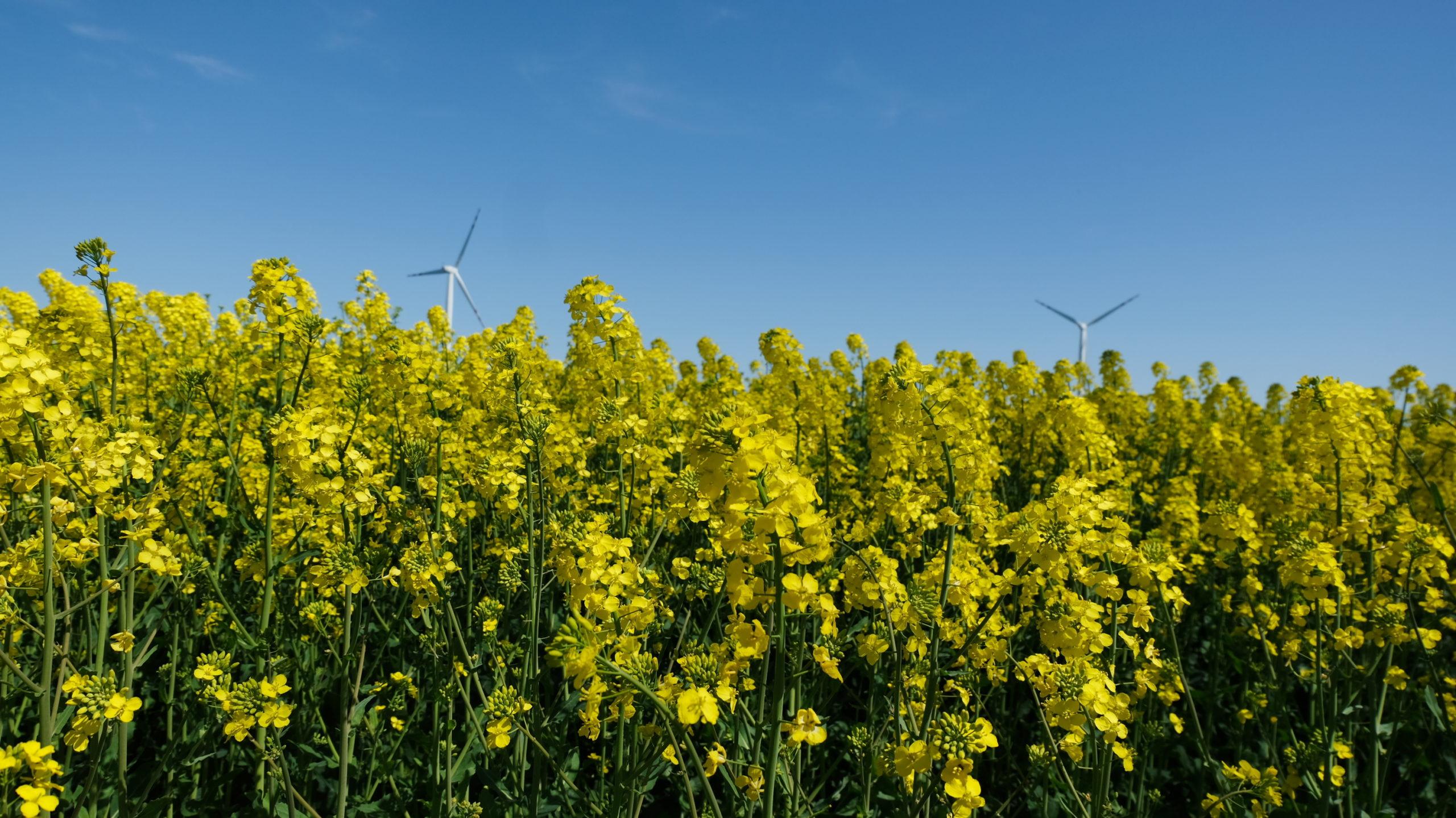 zdjęcie przedstawia pole rzepaku, a w tle widnieją wiatraki na terenie gminy legnickie pole
