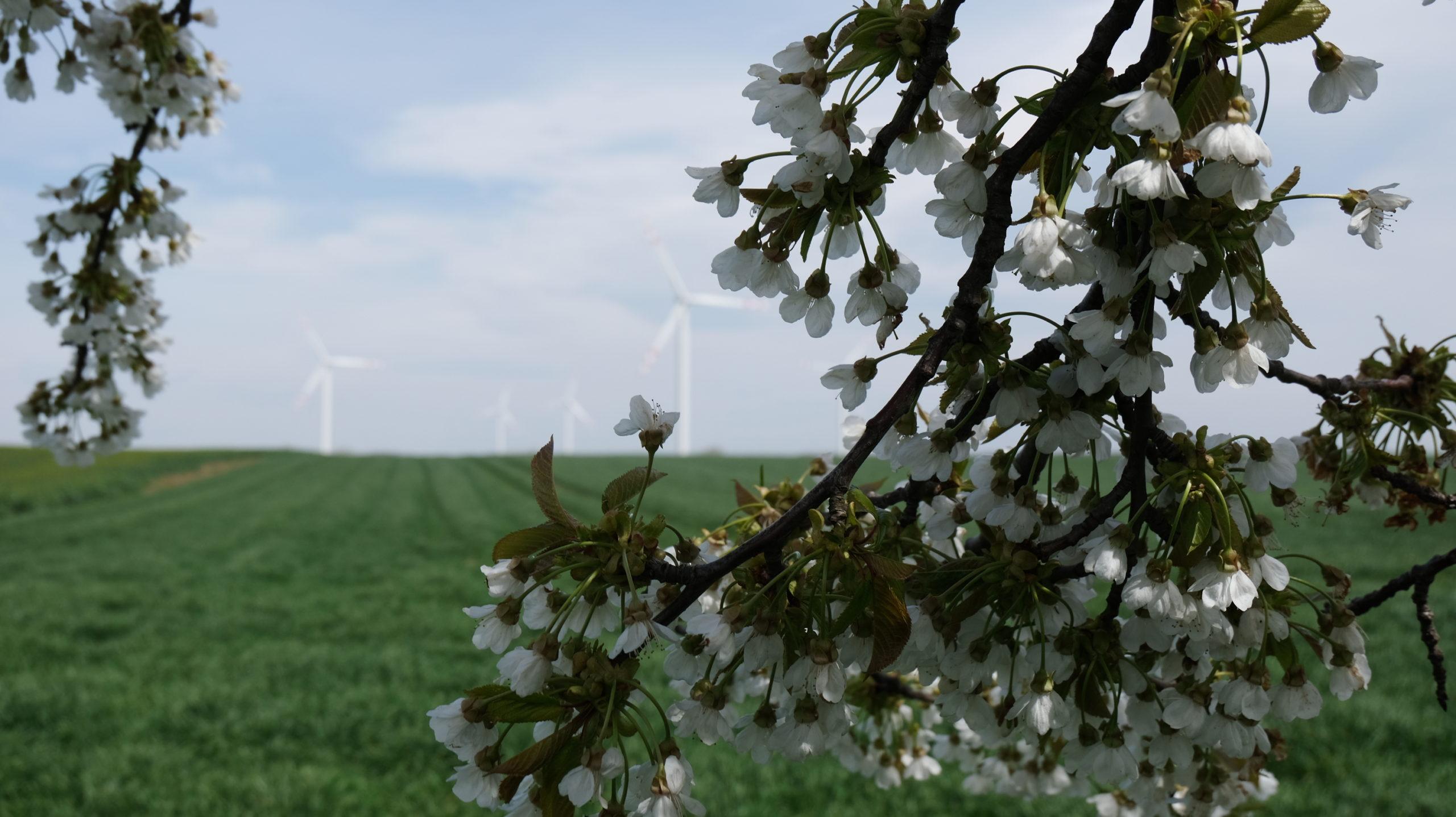 zdjęcie przedstawia pole i wiatraki w legnickim polu